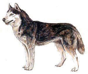 Siberian Husky Clipart-Siberian Husky Clipart-16