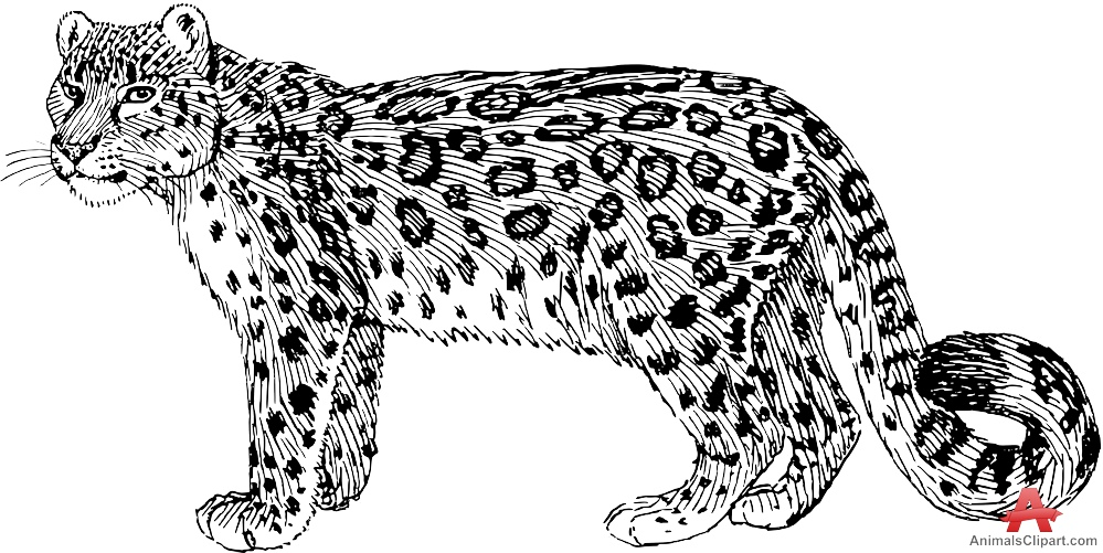 Snow Leopard Drawing Clipart
