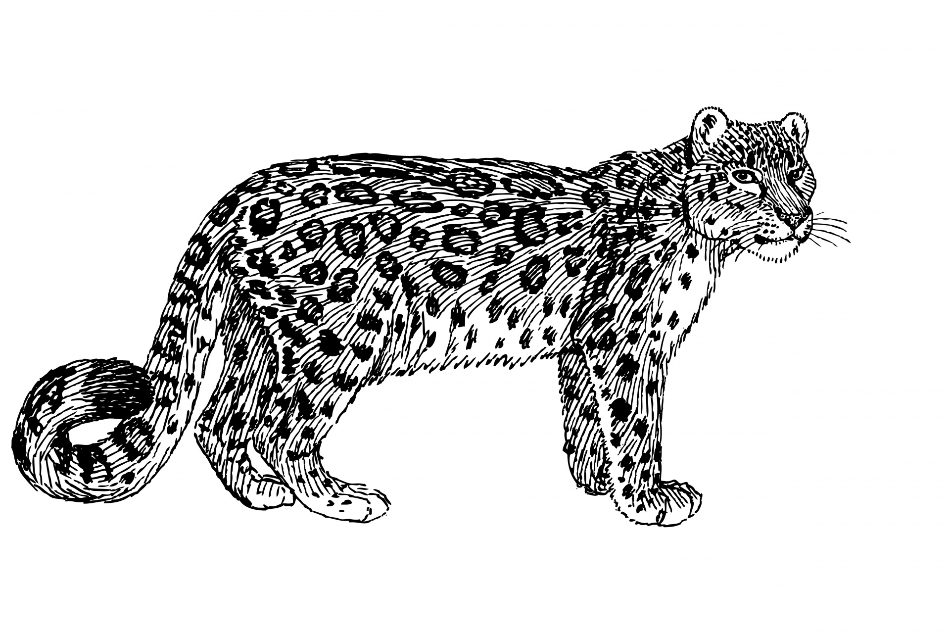 Snow Leopard Illustration Clipart