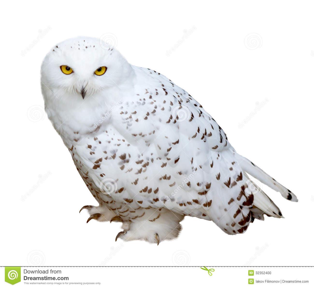 Snowy Owl Clipart Snowy Owl Isolated Ove-Snowy Owl Clipart Snowy Owl Isolated Over White-18