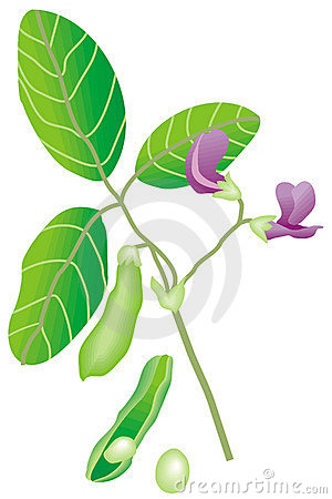 Soybean Stock Illustrations u2013 432 So-Soybean Stock Illustrations u2013 432 Soybean Stock Illustrations, Vectors u0026  Clipart - Dreamstime-16