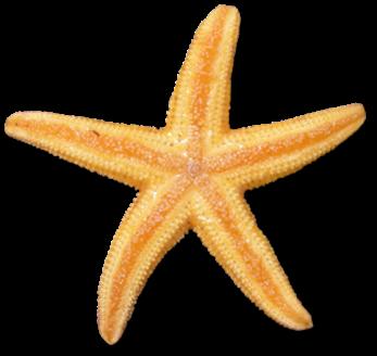 Starfish clipart 5
