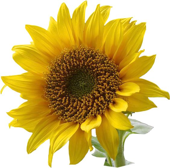 Sunflower Clip Art | ... Resolution graphics and clip art: Free Sunflower graphics