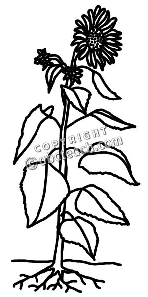 Sunflower Plant Clipart Black And White -Sunflower Plant Clipart Black And White Clip Art Sunflower Stalk B ampW-16
