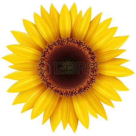 sunflower: Sunflower isolated, illustrat-sunflower: Sunflower isolated, illustration.-14