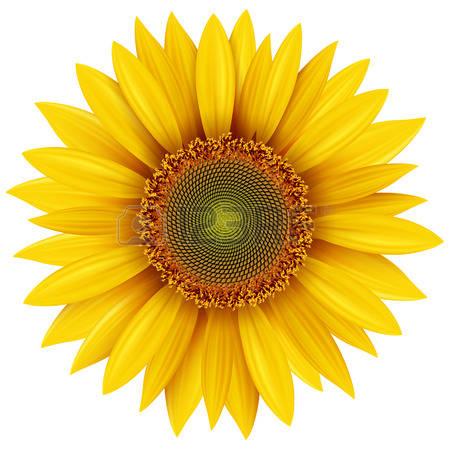 sunflower: Sunflower isolated - Sun Flower Clip Art