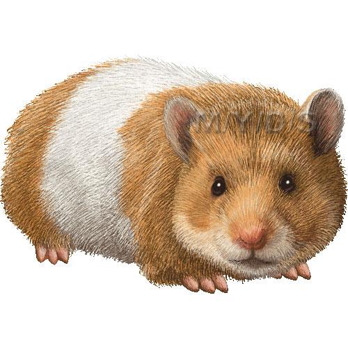 Syrian Hamster Golden Hamster Clipart Graphics Free Clip Art