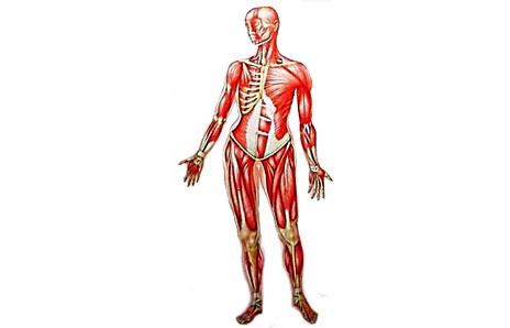 The Human Body. dk clipartall.com - clip art
