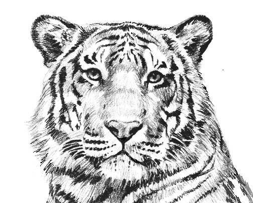 Tiger black and white white tiger cliparts and others art inspiration