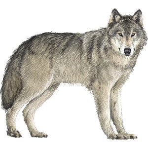 Timber Wolf clipart . - Wolf Clipart