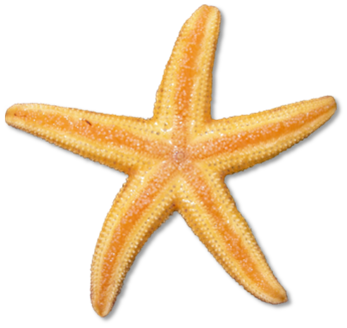 To starfish orange red clip .-To starfish orange red clip .-10