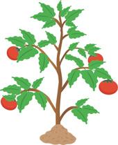 Tomato Plant Clipart Size: 173 Kb