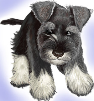 Toy Schnauzer Puppies For .-toy Schnauzer Puppies for .-18