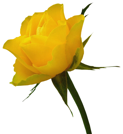 Transparent Yellow Rose Clipart