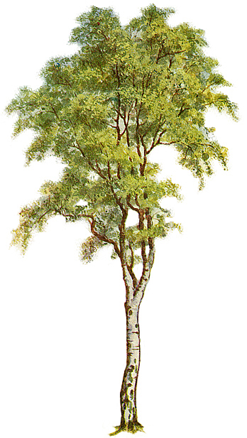 Tree Clipart - Silver Birch .
