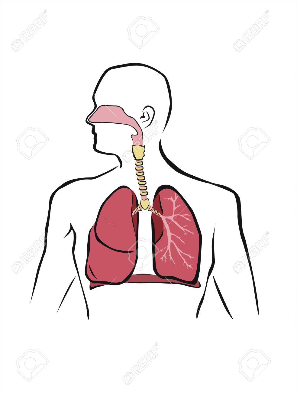 Vector - diagram of human respiratory system