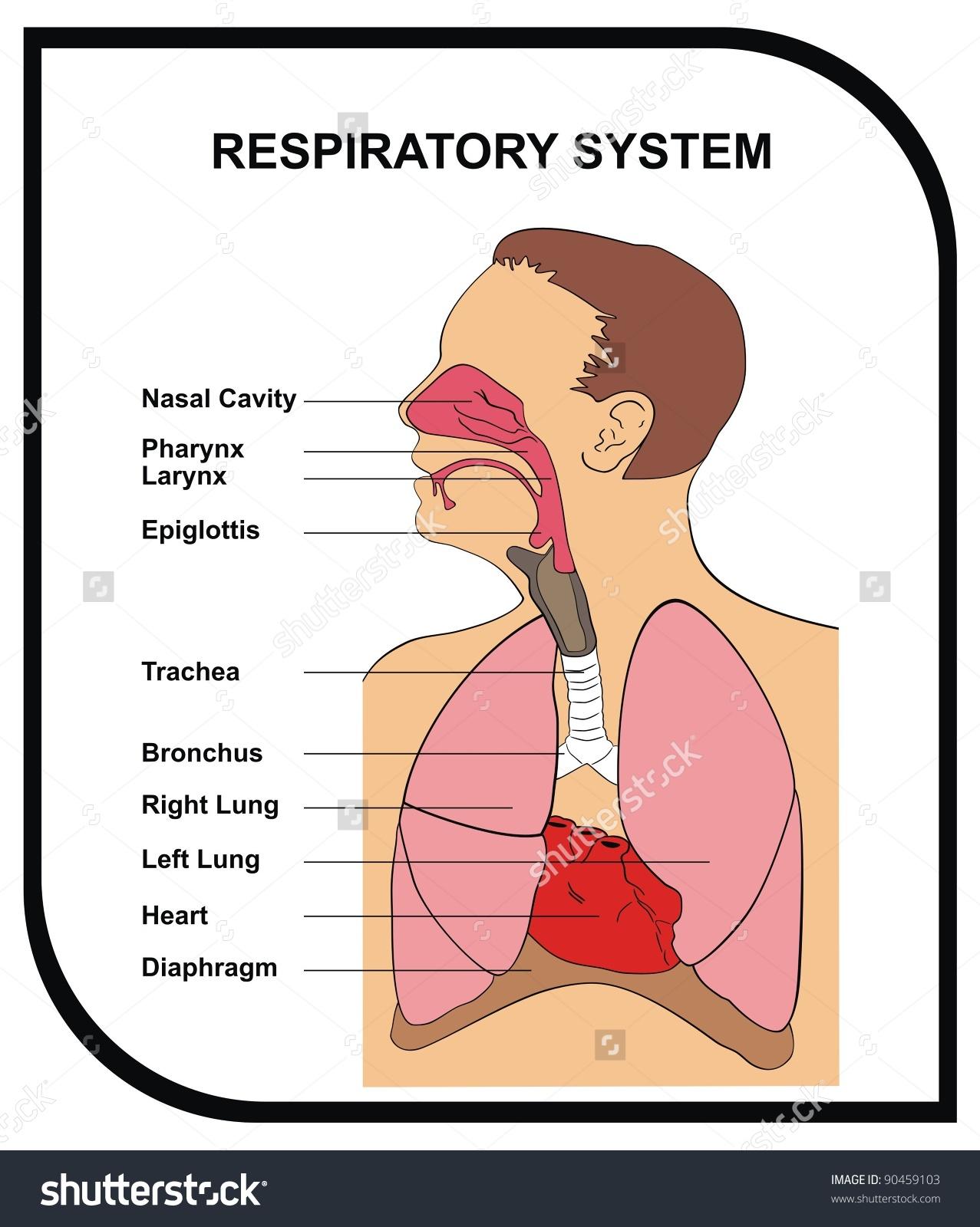 VECTOR - Respiratory System