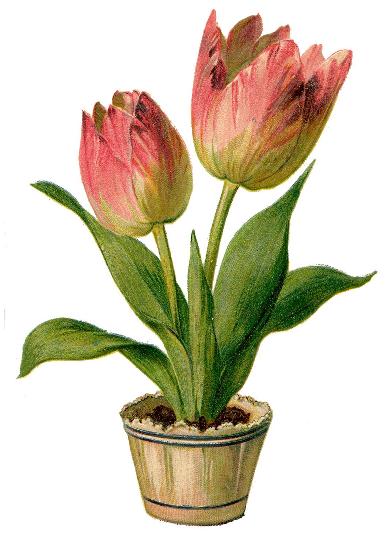Vintage Clip Art - Pretty Pink Tulips-Vintage Clip Art - Pretty Pink Tulips-18