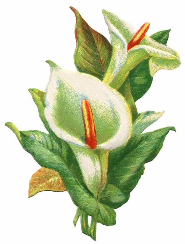 Vintage easter lily clip art .