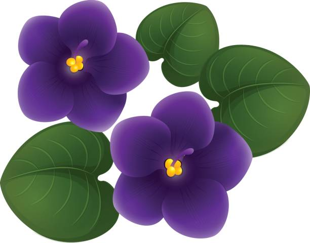 African violet flowers and green leaves vector art illustration