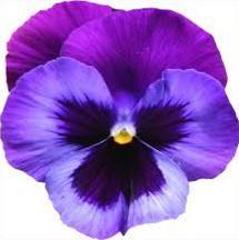 Violets-Violets-9
