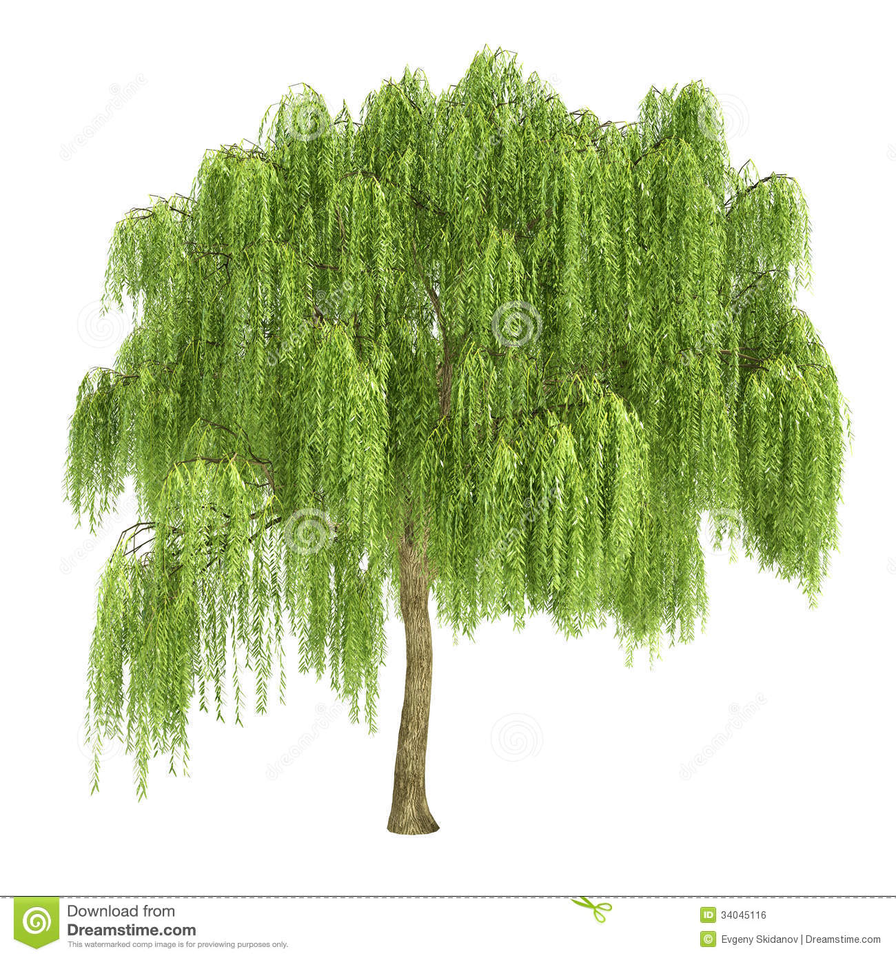 Weeping Willow Tree Isolated .