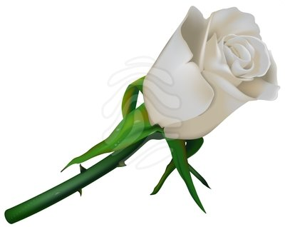 Clipart Info - White Rose Clipart