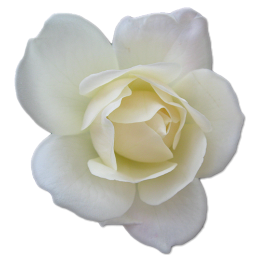 White Rose Clipart-Clipartloo