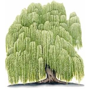 Willow Tree Clip Art. 079828460873512102ceaaf1a1e9fc .