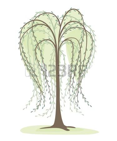 willow tree: deciduous tree on a white background, willow