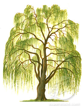 Willow Tree Drawing Cill Willow Flamekeepers