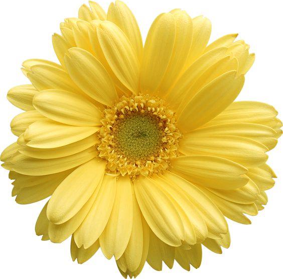 Yellow Gerber Daisy Clipart
