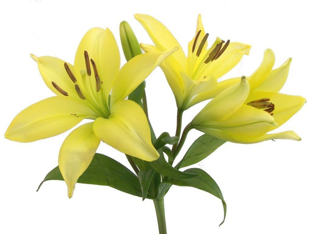 Yellow Lily Flower Clipart. Posted By Edie Weinstein Msw ..