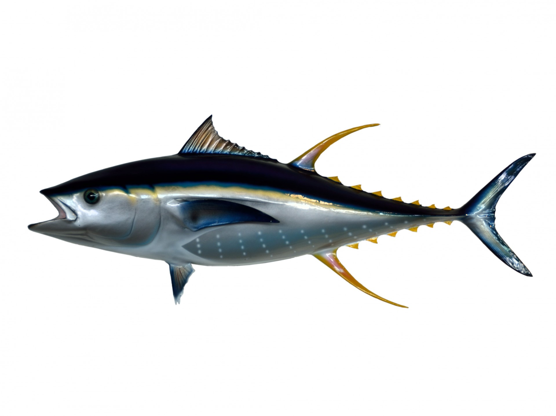 Yellowfin Tuna Underwater ...-Yellowfin Tuna Underwater ...-12